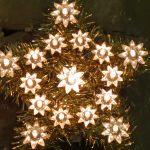 Christmas Star of Bethlehem
